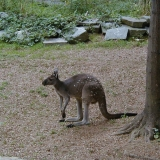 A kangaroo at the Smithsonian National Zoological Park