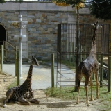 Giraffes at the Smithsonian National Zoological Park
