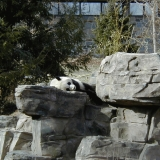 A panda bear at the Smithsonian National Zoological Park