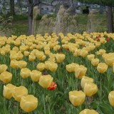 Tulips at a graveyard