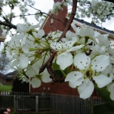 Flowers of a Bradford Pears