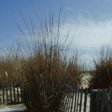 Reeds at the beach