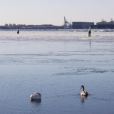 Swans in front of Länsi-Mustasaari