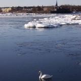 Joutsen Etelä-Helsingin edustalla