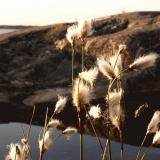 Hare's-tail Cottongrass grows on Porkkala's rocky shore