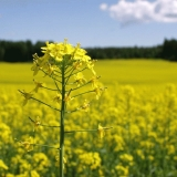 Rape in a rape field