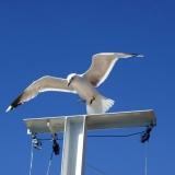 A mew gull landing