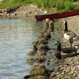 Barnacle geese at seashore