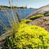 Flowers at the edge of Kustaanmiekka sound