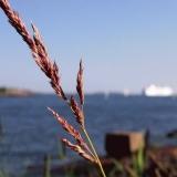 Hay at the island of Särkkä, the Finnish bay in the background