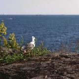 A seagull looking out to the sea from Harakka island