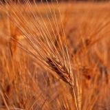 Barley on a barley field