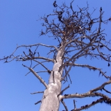 A dead dried tree