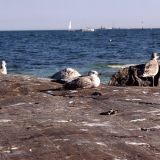 Seagulls on the shore rocks