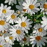 Oxeye daisies (Leucanthemum vulgare)