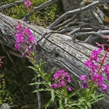 Fallen snag and fireweed