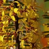 Nauhus (Ligularia dentata)