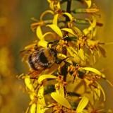 Mehiläinen ja nauhus (Ligularia dentata)
