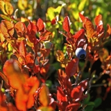 Tundra bilberry (Vaccinium uliginosum)