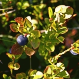 Blueberry (Vaccinium myrtillus)