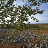 Vaivaiskoivu (Betula nana)