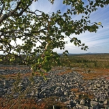 Dwarf birch (Betula nana)