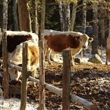 Oikeita lehmiä peltilehmien naapureina