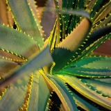 Mitre aloe (Aloe mitriformis)