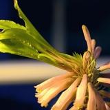 Kirjoheimikki (Veltheimia capensis)