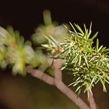 Katajan (Juniperus communis) neulasia
