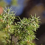 Needles of a juniper (Juniperus communis)