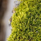 Mountain-fern moss (Hylocomium splendens)