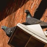 Rock pigeons (Columba livia)