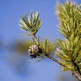 A pine branch and cone