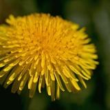 Voikukka (Taraxacum officinale)