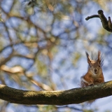 A squirrel peeks from a branch