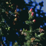 Red cones in a fir