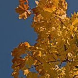 A yellow maple