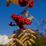 Sorbus berries
