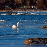 A mute swan (Cygnus olor) at the icy Länsilahti bay