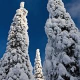 Snowy firs