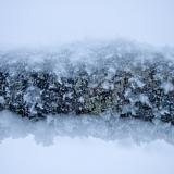 A fallen snowy birch