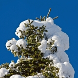 Luminen kuusi
