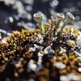 Torvijäkälää (Cladonia) sammalmättäällä