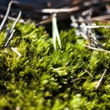 Pine needles on moss