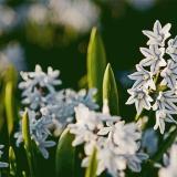 Valkoisia idänsinililjoja (Scilla siberica alba)