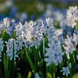Sinisiä (Scilla siberica) ja valkoisia idänsinililjoja (Scilla siberica alba)