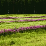 Fireweed on a field