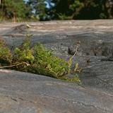 Merisaunio (Tripleurospermum maritimum)
