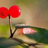 Keltakuusama (Lonicera chrysantha)